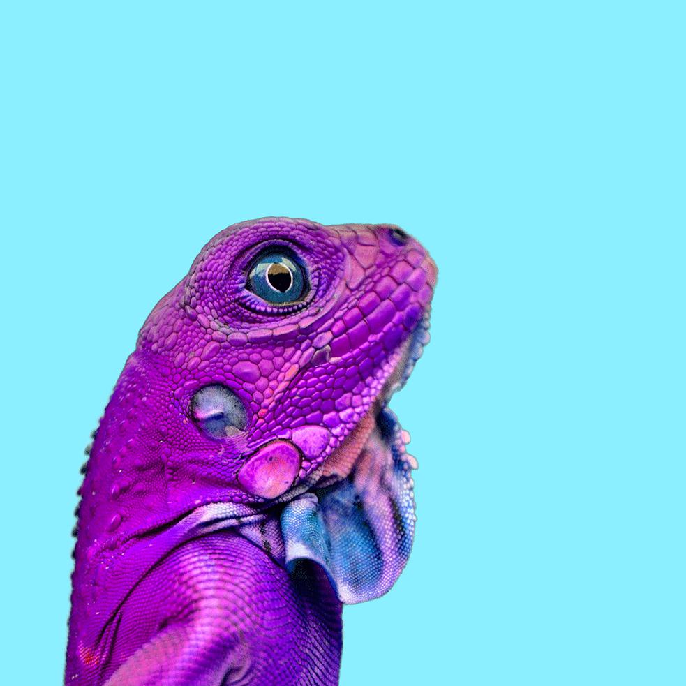 Blau-Chameleon_72dpi