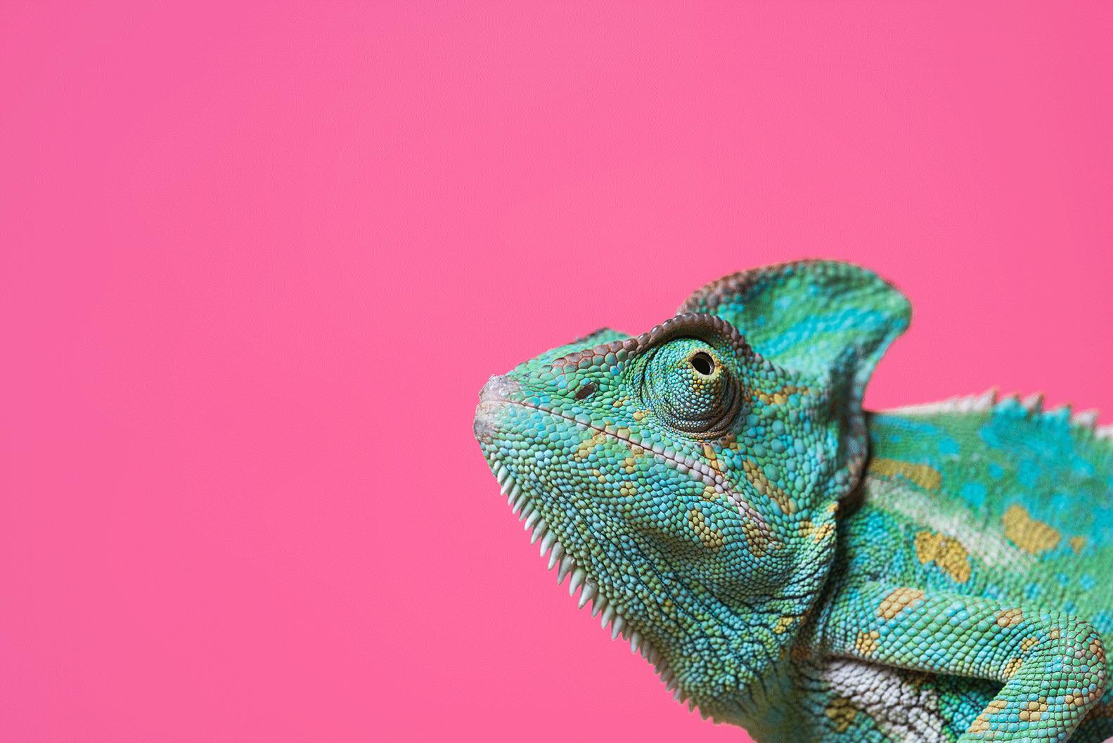 Rosa-Chameleon_72dpi